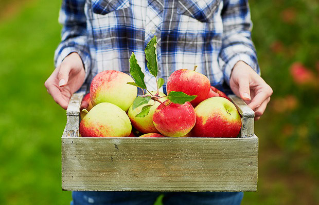 Woman's hands holding wooden crate with red ripe apples.