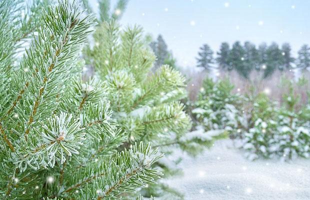 Snowy winter pine tree landscape scene.